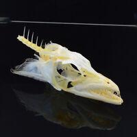fish Swordfish skull specimen Largehead hairtail skull specimen