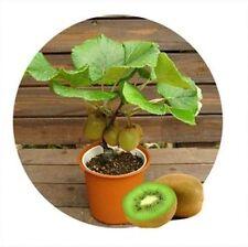 100 unids kiwi semillas, tailandia Mini Kiwi Semillas de flores, plantas