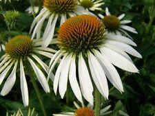 Coneflower Seeds White, Heirloom Wildflower, Non-Gmo Perennial Flower Seeds 50ct