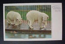 POLAR BEAR ZOO SOCIETY OF LONDON REGENT'S PARK ORIGINAL PERIOD POSTCARD Ca1900