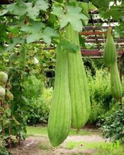 Seeds Rare Luffa Pumpkin Flower Washcloth Annual Organic Heirloom Ukraine