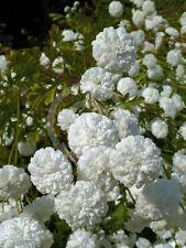 "SNOW BALL CHRYSANTHEMUM ""Tanacetum Parthenium"" ~Snow-White Pompons~25+ Seeds"