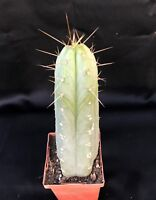 """Trichocereus BRIDGESII bolivian torch cactus approx 7""""-8"""" tall WELL ROOTED"""