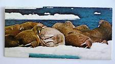 merveilles du monde nestle animaux des regions polaires 43 le morse