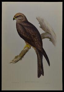 "John Gould Allied Kite Bird Limited Edition Print 21"" x 14.5"""