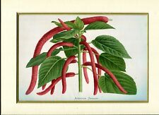 Print MOUNTED ANTIQUE COLOURED PRINT 'ACALYPHA SANDERI' FROM 'LE MONITEUR D'HORT