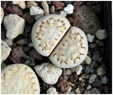 50 seeds Lithops julii fulleri rouxii , living stones,seeds succulent plants C