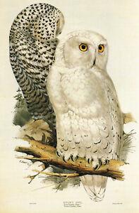 Snowy Owl Bird Print Old Vintage Picture Edward Lear 1991 NHO#53