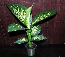 "BACK IN STOCK~Dieffenbachia Tropic Snow Super Nice 4"" Pots Tropical House Plant"