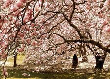 20 Magnolia denudata Magnolia Tree Seeds!