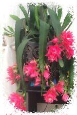 1 Rare cactus EPIPHYLLUM GERMAN EMPRESS LARGE FLOWERS fresh cutting