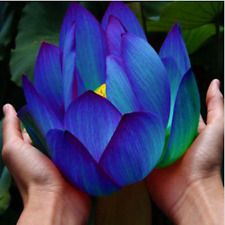 10pcs flower seeds Blue Lotus seeds aquatic plants water lily plants Midnight BL