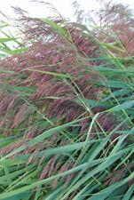 Indianerbanane winterharte Pflanzen für den Teichrand Teichpflanze Teichpflanzen