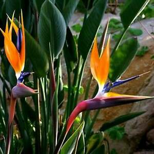 Strelitzia reginae - Orange Bird of Paradise - 10 Seeds