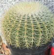 Seeds Golden Barrelcactus 100+ (echinocactus grunosii) cold tolerant Yel flower