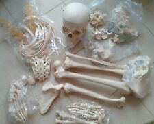 More details for adam rouilly disarticulated half human skeleton high quality skull
