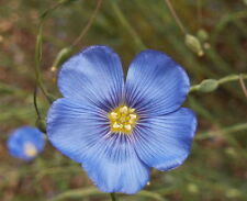 1000 Blue Flax Linum Perenne Lewisii Flower Seeds - Gift - Comb S/H