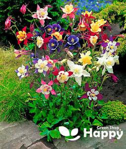 COLUMBINE - McKana Giants mix - 300 Seeds  - Aquilegia c. - Perennial Flower