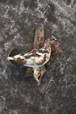 Sku 1459 Fall Alaskan Rock Ptarmigan taxidermy mount Amazing Condition