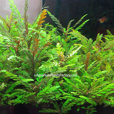 Hygrophila Pinnatifida Potted Frehswater Live Aquarium Plants Fish Decorations
