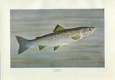 Early 1900s Antique Fish Print ~ Salmon