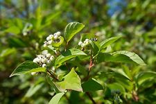 Red Osier Dogwood Cornus sericea stolonifera 1-2' Lot 10