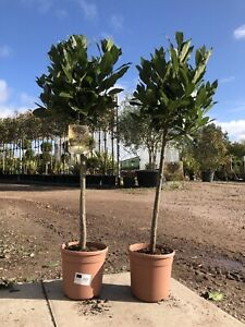 Pair of Medium Bay Trees