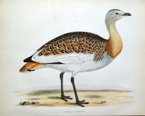 GREAT BUSTARD, Beverley Morris original antique bird print 1855
