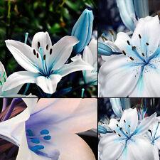 50pcs Blue Lily Oriental Scented Flower Bulbs Seeds Stargazer Garden Plants