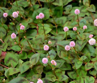 KNOTWEED PINK PUNCHING BALLS Polygonum Capitatum - 500 Bulk Seeds