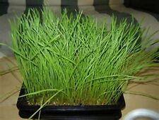 Cat Grass-  100 seeds