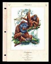 """The Orangutan"" Illustrated Animal Library Art Print InfoCard #50"
