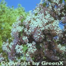 Perlmuttstrauch Kolkwitzie 80-100cm - Kolkwitzia amabilis