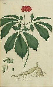 20 Semillas de Ginseng chino (panax ginseng)
