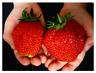 500 PCS Seeds Giant Strawberry Organic Fruit Plants Vegetables Bonsai Garden New
