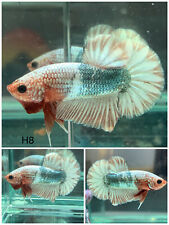 New listing Betta Live Fish - Male Fancy White Copper Hmpk - H8 - Hight Quality - Star Tail