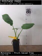 Monstera - Fruit Salad Tree (Monstera deliciosa) Fruit Tree Plant