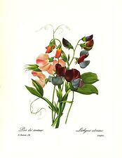 1991 Vintage REDOUTE FLOWER #70 SWEET PEA POIS LOVELY Color Art Print Lithograph
