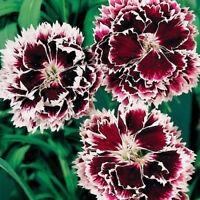 Velvet N Lace Dianthus purple & white annual 40+ seeds