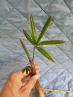 "2 Lady Palm trees * Rhapis excelsa * 8""-12"" tall * Tropical Live Plant Hawaii!"