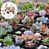 Mixed Rare Succulents Seeds Easy To Grow Potted Flowers Seeds Bonsai Seed