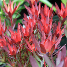 "PROTEA ""LONG-TOM"" - Leucadendron - Plants - Colourful foliage!"