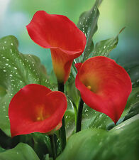 50 pcs red Calla Lily seeds CODE6