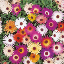 Mixed Ice Plant Seeds, Livingstone Daisy, Variety Sizes Sold, FREE SHIPPING