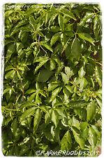 Parthenocissus quinquefolia 'Virginia Enredadera' [Prov: Creta, Grecia] 20 semillas