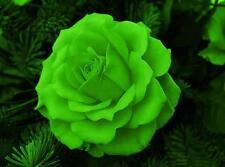 ROSA VERDE - GREEN ROSE, 10 SEMI SCELTI / 10 SELECTED SEEDS