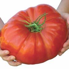 200 Red Beefsteak Giant Monster Tomato Seeds Organic Vegetable S126