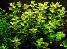 20 Bacopa Caroliniana (B. Amplexicaulis) live tropical aquarium aquatic Plants