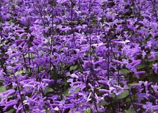 > Der wunderschöne Ysop färbt Ihren Garten tiefviolett - sagenhaft !