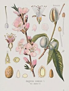 Botanical Herb Medicinal Almond- 85 Vintage Art Print/Poster